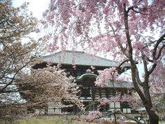 写真:桜咲く大仏殿境内