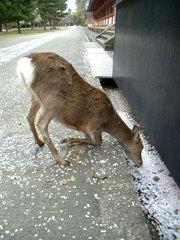 写真:花びらを食べる鹿